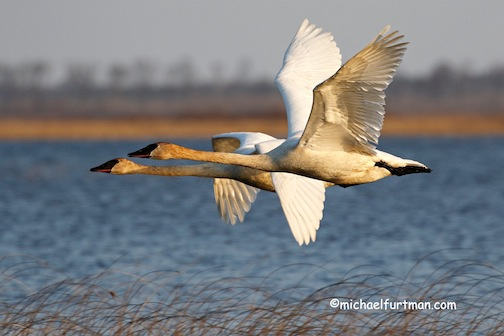 """Trumpeter Swan pair in flight,"" Michael Furtman."