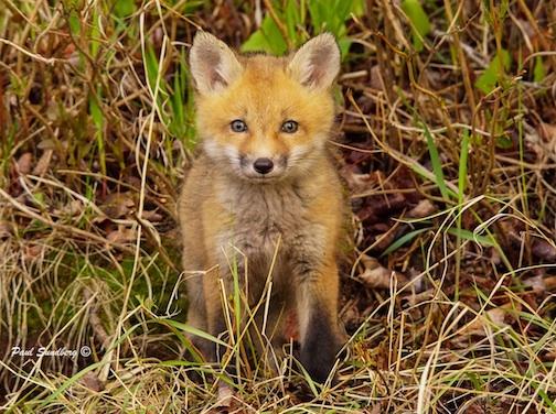 A fox kit by Paul Sundberg.