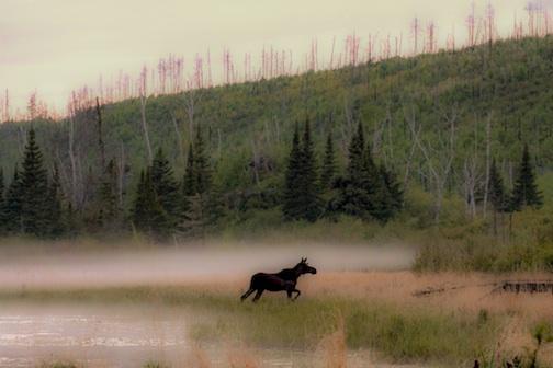 Moose in a foggy swamp by Amber Nichols.