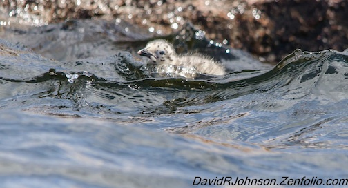 """Seagull chick out for a swim"" by David Johnson."