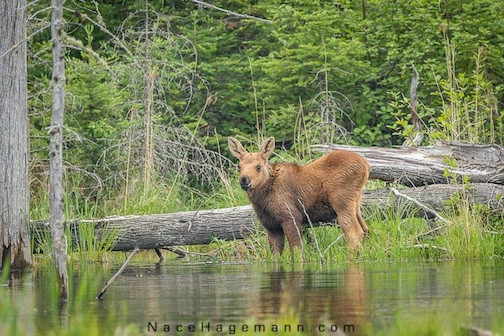 First moose calf sighting of the year, by Nace Hagemann.
