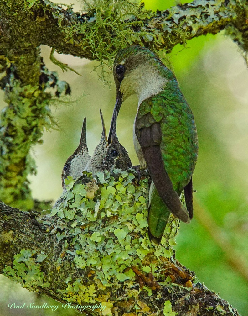 Hummingbird Family by Paul Sundberg. To see a video of a hummingbird building its nest, click here.