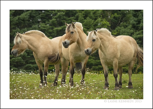 Philis Anderson's Fjord Horses by Layne Kennedy.