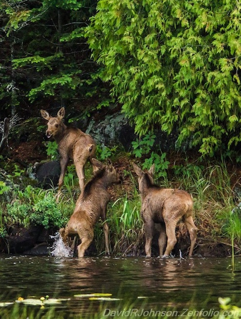 "The moose triplets  are growing up! Photo by David Johnson. ""Always One has to be the leader"" is how he captioned it."