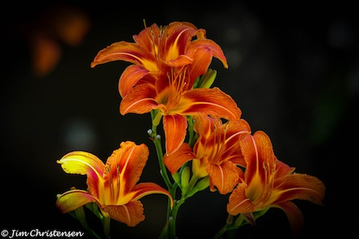 Lilies by Jim Christiansen.