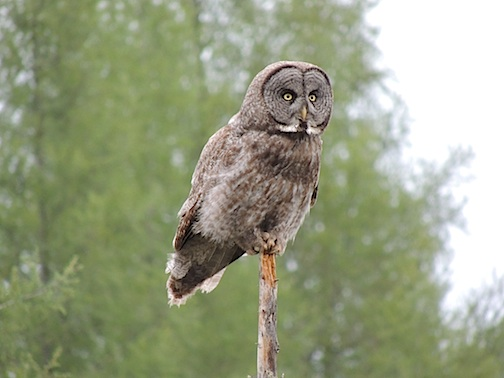 Joseph Detrick caught this shot of a Great Gray Owl in June.