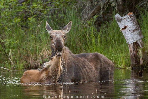 Nace Hagemann caught this great moment between a mama and her calf the other day. The photographer will be at Kah-Nee-Tah Gallery on Saturday to talk about his quest for moose and northern lights.