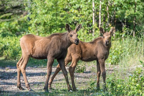 Here are a pair of moose twins, also growing. Photo by Travis Novitsky.