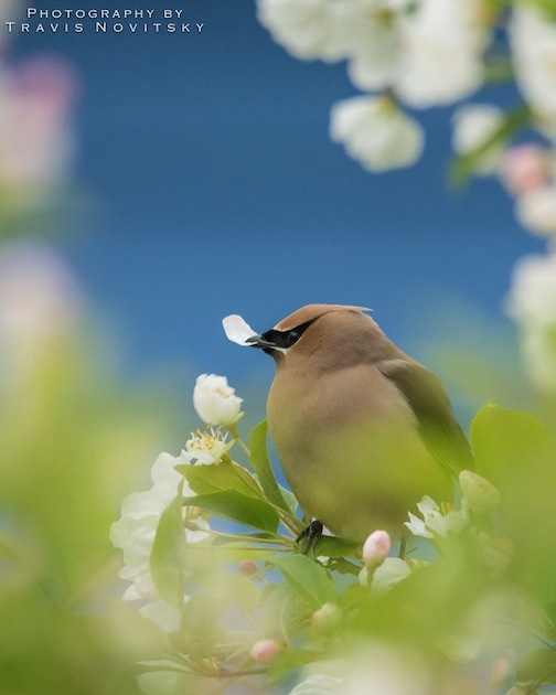 Waxwings in Flowering Crab by Travis Novitsky.