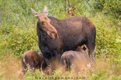 Moose twins nursing by Nace Hagemann.