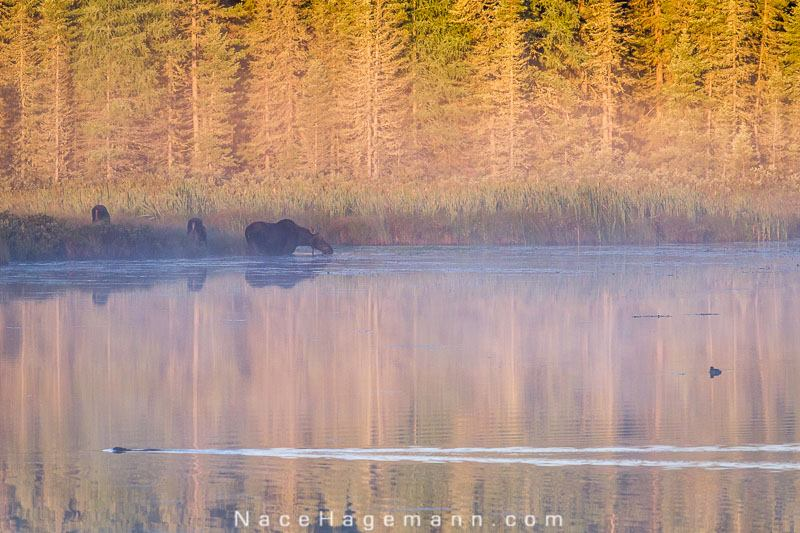 Early morning on the pond with moose, ducks and a beaver by Nace Hagemann.
