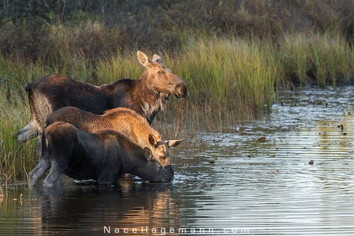 Just in time for Moose Madness in Grand Marais! Nace Hagemann caught these twins taking a drink the other day. Enjoy!