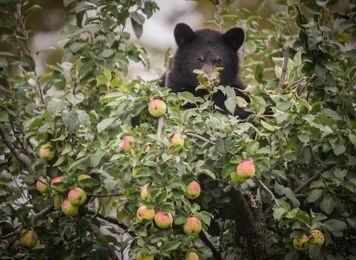 Thomas Spence caught this bear in an apple tree, contemplating the feast to come.