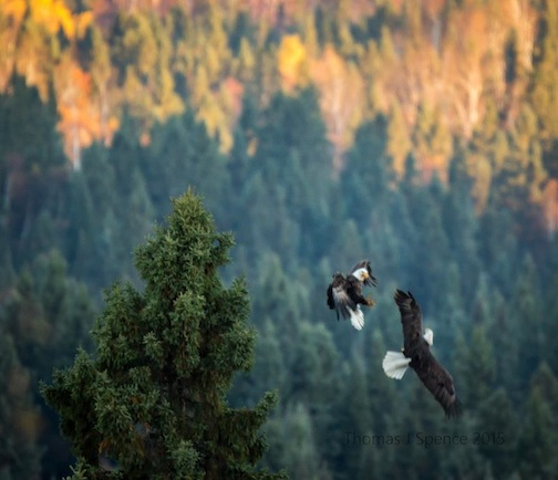 Tom Spence took this photo. His comment: A couple out of focus eagles sparing for tree top position near a dead bear this morning.