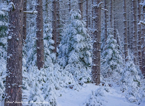 Snow-covered Pines by Paul Sundberg.