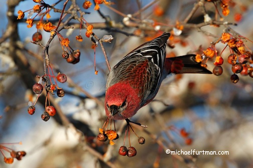 Male Pine Grosbreak reaching for a berry by Michael Furtman.