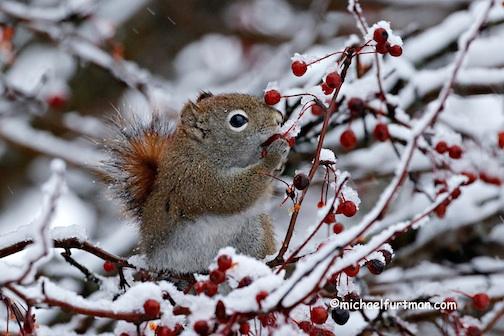 Red Squirrel eating berries by Michael Furtman.