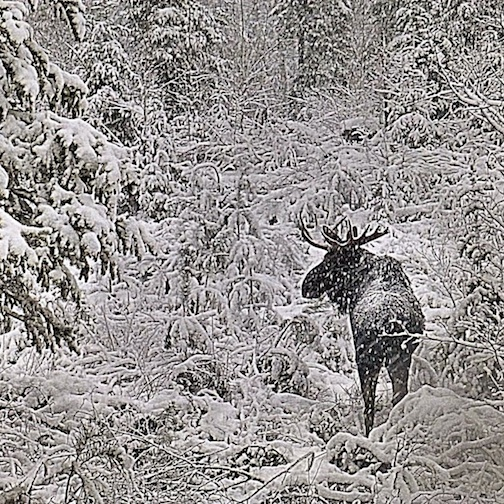 Moose in Snow, courtesy of Bearskin Lodge.