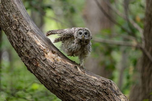 """Barred Owl stretching in Arden Hills"" by Craig Mullenbach."