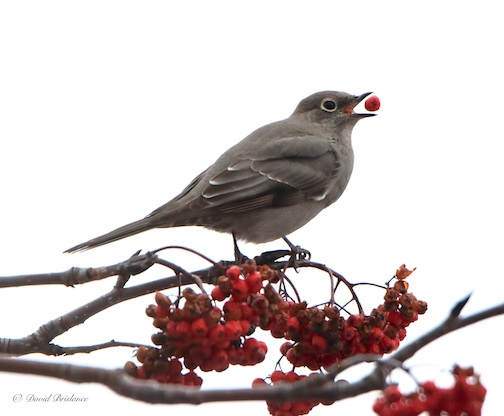 Townsend's Solitaire by David Brislance.