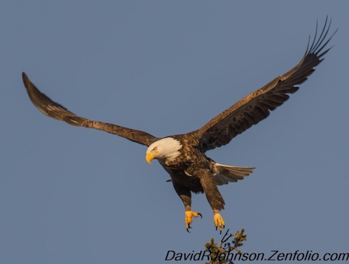 Double-banded Bald Eagle by David Johnson.