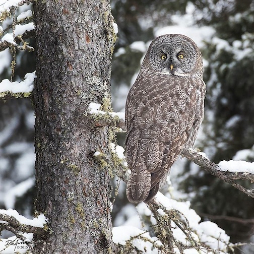 Great Grey Owl by Don Anderson.