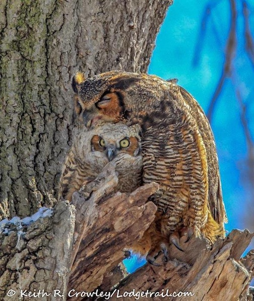 Great Horned Owl & Chick by Keith Crowley.