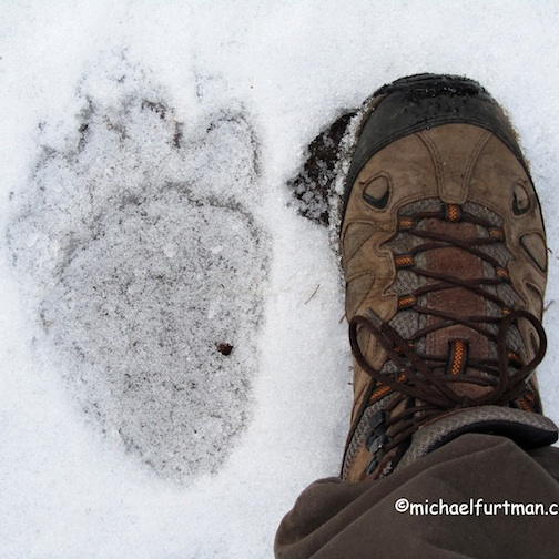 Burt, the black bear's print & Michael Furtman's boot.