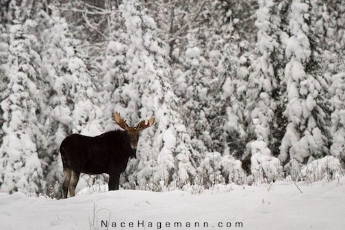 Moose in snow-covered forest by Nace Hagemann.