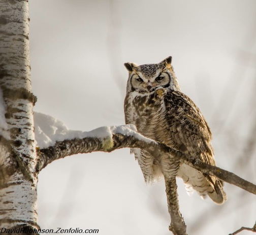 Great Horned Owl by David Johnson.