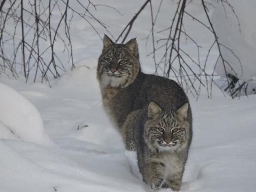 Bobcat by Darin Fagerman.