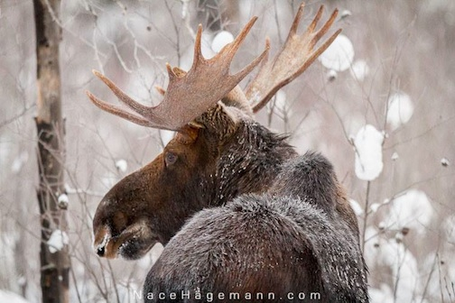 Moose by Nace Hagemann.