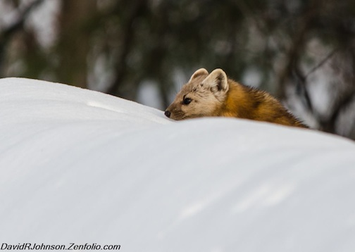 """Such a curious little marten,"" by David Johnson."