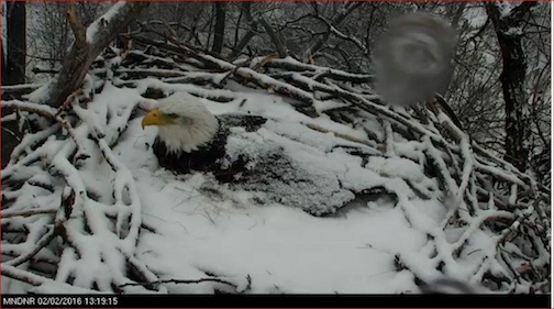 """Mom on the nest,"" DNR Eagle Cam, after a snow storm. The eagle laid three eggs last week and she and ""Dad""have been keeping them warm."