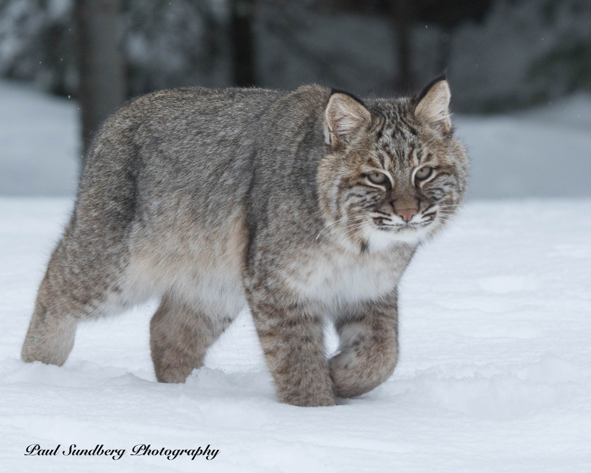 Bobcat by Paul Sundberg.