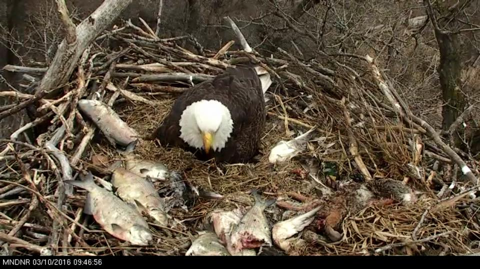 How many fish can three tiny chicks eat? The bonanza on the DNR Cam's eagle nest last week.