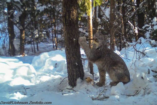 My, what big paws you have, Canadian Lynx by David Johnson.