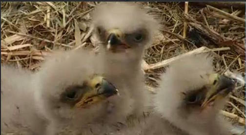 eagle cam three chicks