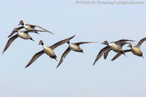 Keith Crowley caught these pintails in flight the other day.