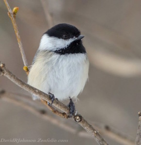 This chickadee is the latest photograph by David Johnson.