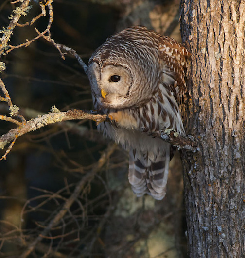 Barred Owl by Sparky Stensaas.