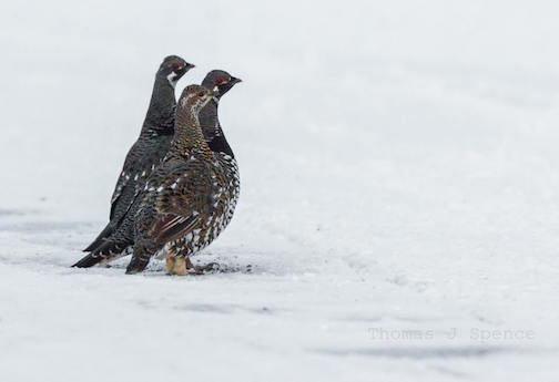Spruce Grouse Getting Gravel by Thomas Spence.