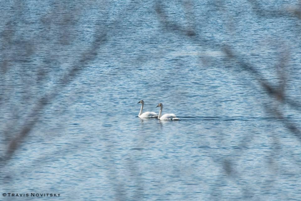 Swans on Grand Portage Bay by Travis Novitsky.