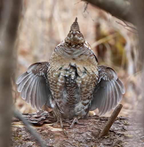 Ruffed Grouse in spring by David Brislance.