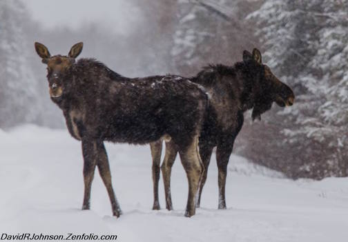Two moose by David Johnson.
