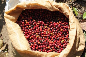 Freshly picked coffee beans in Guatamala.