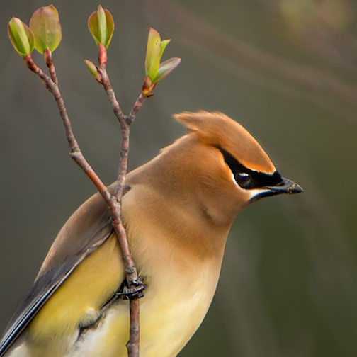 Jim Brandenburg took this wondrous shot of a Cedar Waxwing.