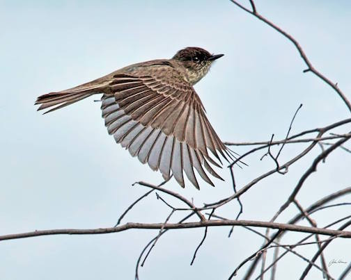 Flight of the Eastern Phoebe by John Heino.