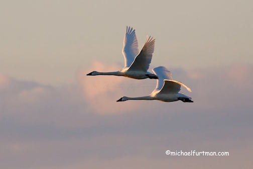 Tundra Swans by Michael Furtman.