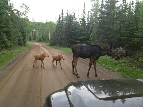 Moose family. This photo was posted by Bob Bagley. He said it was compliments  of a UPS driver up the Gunflint trail area.